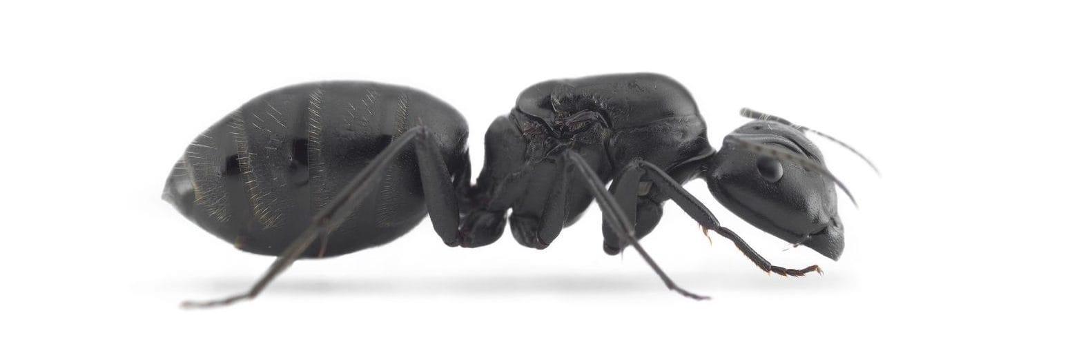Camponotus-vagus-ant3d-1